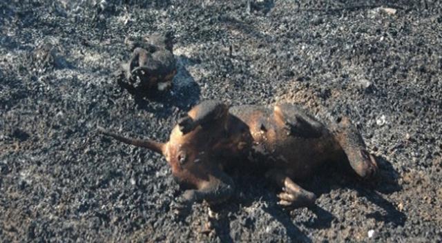 Yangın tüm canlılara zarar verdi