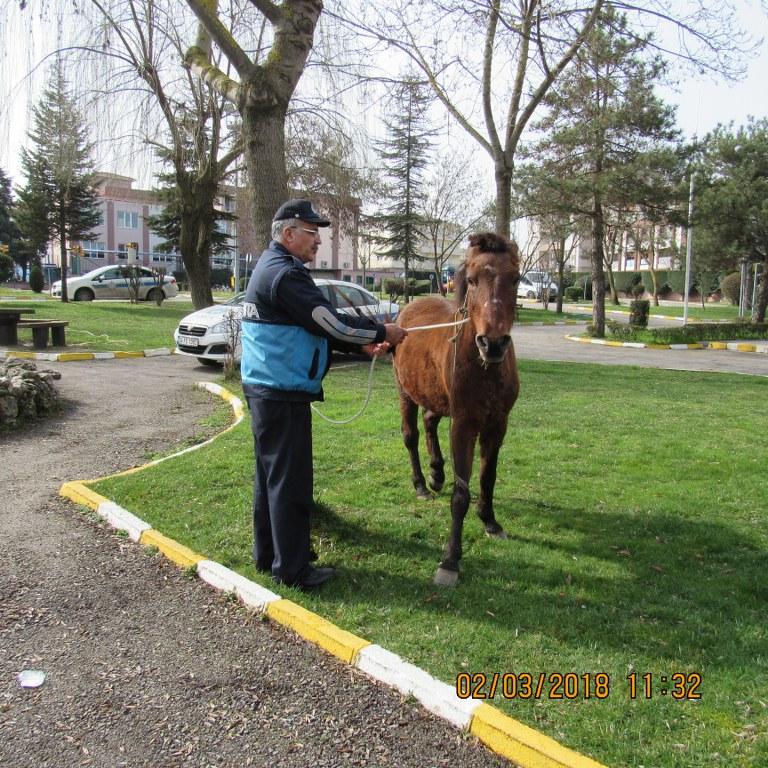 Başıboş atlar toplanıyor