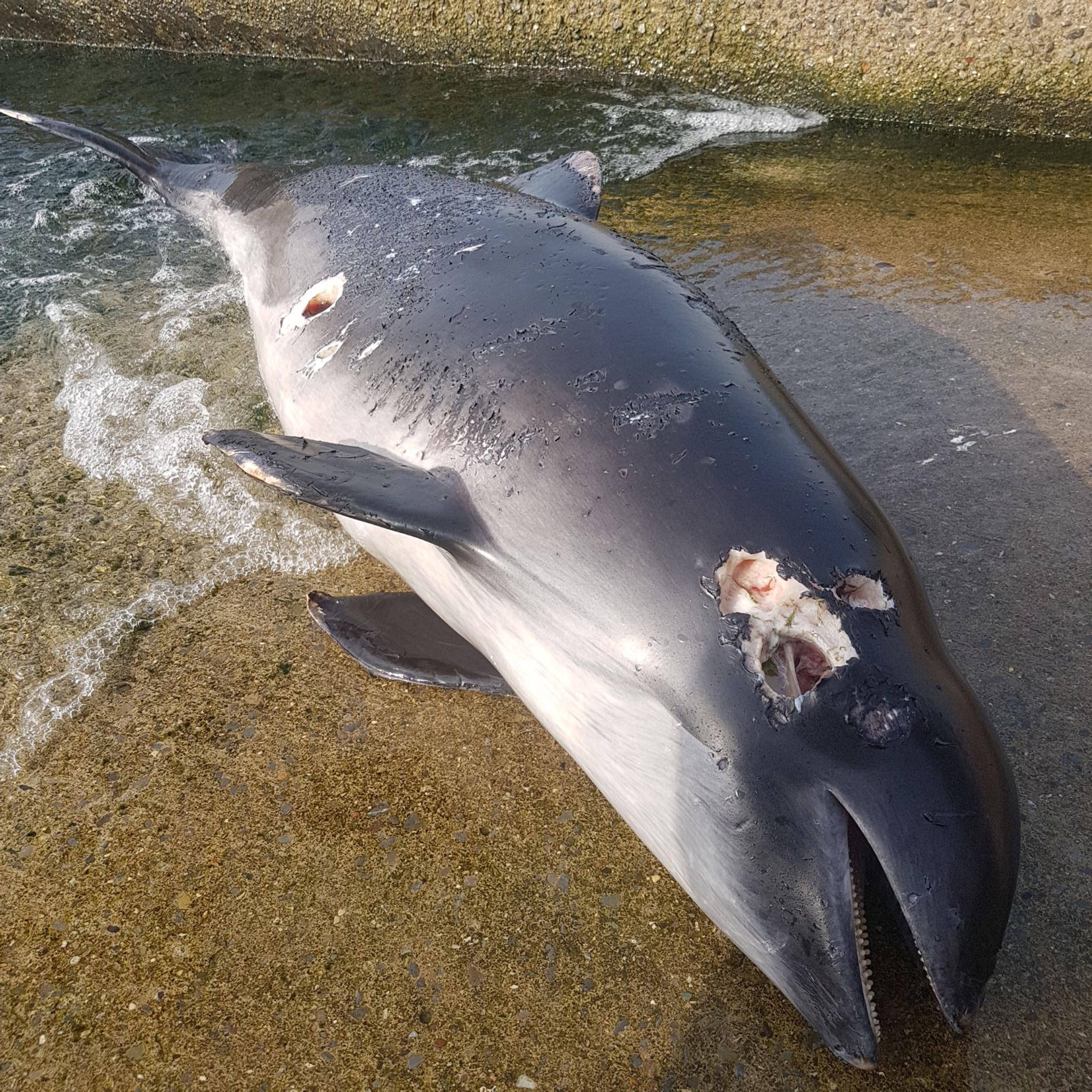Tüfekle öldürülen yunus kıyıya vurdu