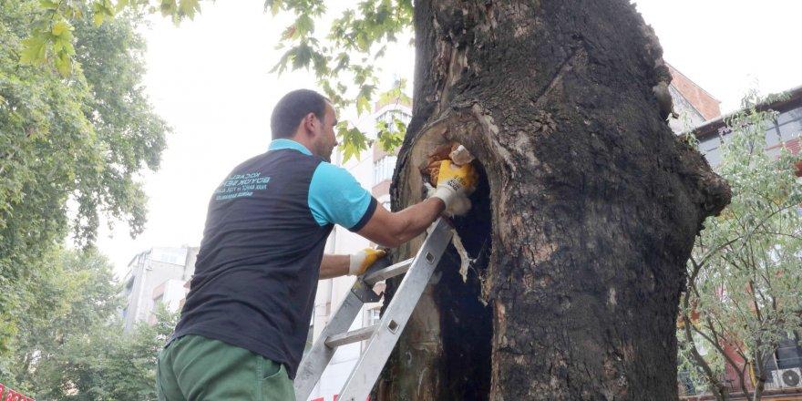 Ağaçların tedavisine devam ediliyor