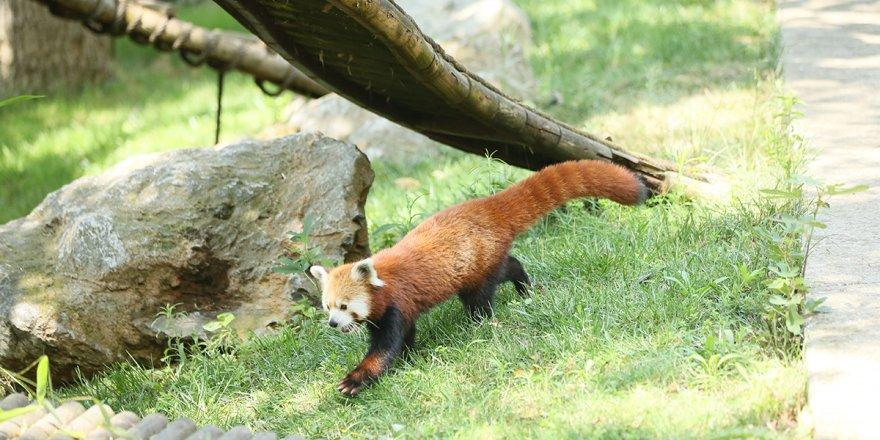 Kızıl pandalar ailenin yeni üyelerine kavuştu
