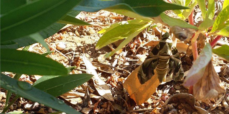 Mekik kelebeği Gebze'de görüldü