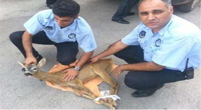 Yaralı Karaca artık güvende