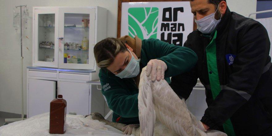 Yaralanan Beyaz Kuğu Ormanya'da