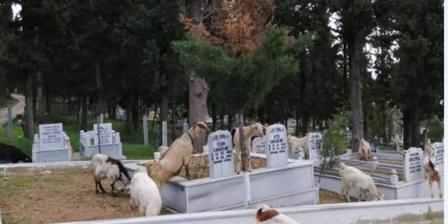 Keçiler mezarlığı işgal etti!