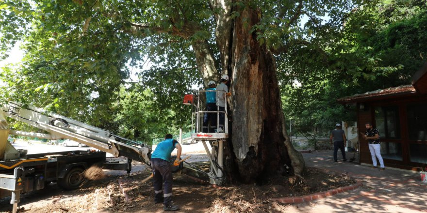 Asırlık Çınar ağacının bakımı yapılıyor