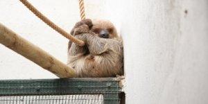 Tembel hayvan Manana 1 yaşında