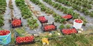 KOCAELİ:  Çiftçiye Çilek ve Kivi bahçesi desteği