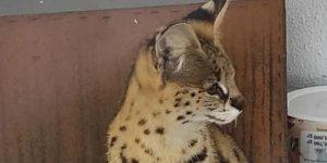 Afrika yaban kedisi Darıca'ya getirildi