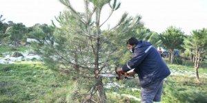 Çayırova'da ağaçlar budanıyor