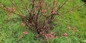 """""""Yalancı bahara"""" aldanan ağaçlar çiçek açtı"""