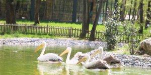 Ormanya'nın yeni  sakinleri Pelikanlar