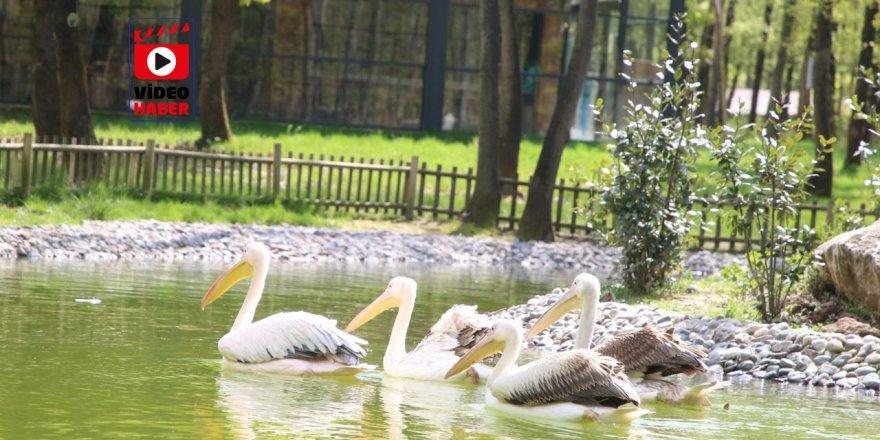Ormanya'nın yeni sakinleri ''Pelikanlar'' oldu